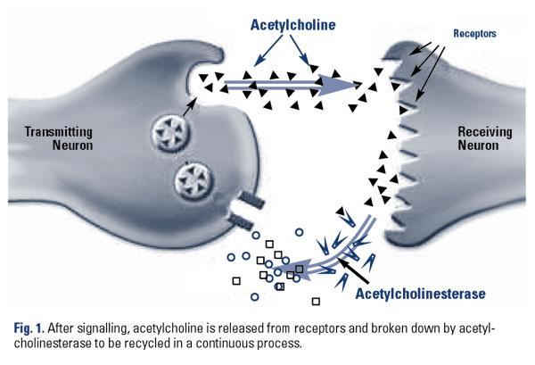 cholinergic nootropics